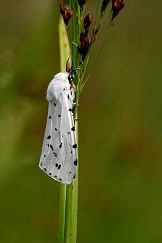 Salt Marsh Moth by April Wietrecki Green