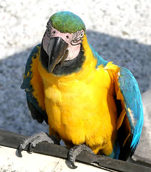 San Marco Island Parrot by Judy Paleologos