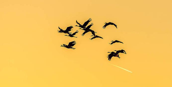 Sand Hill Cranes in flight by Todd Heckert