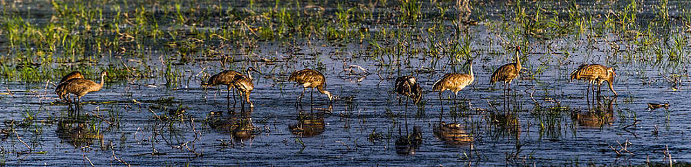 Sand Hill Cranes by Todd Heckert