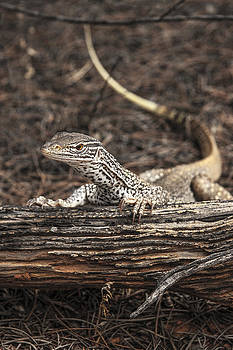 Sand Monitor Posing by Rick Drent