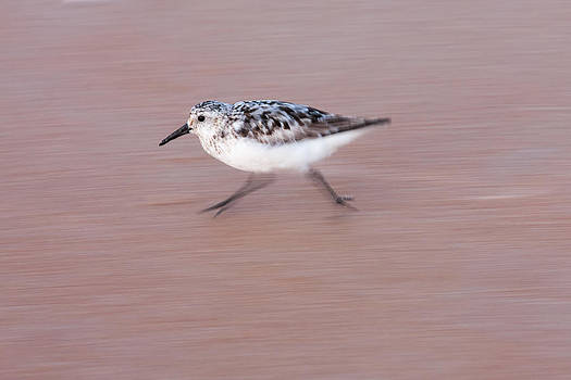 Paul Rebmann - Sanderling On The Run
