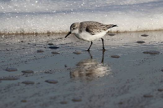 Sanderling by Stacey Steinberg
