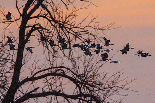Sandhill Crane across the sky by Jill Bell