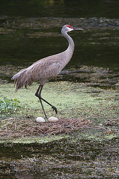 Paul Rebmann - Sandhill Crane and Eggs
