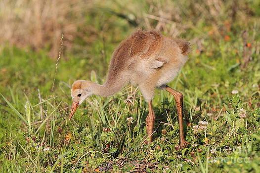 Sandhill Crane Chick by Jennifer Zelik