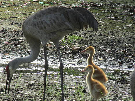 Sandhill Crane family by Cheri Carman