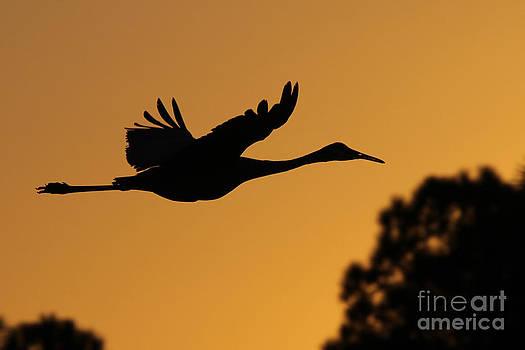 Sandhill Crane in Flight by Meg Rousher