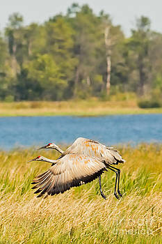 Sandhill Crane Take Off by Natural Focal Point Photography