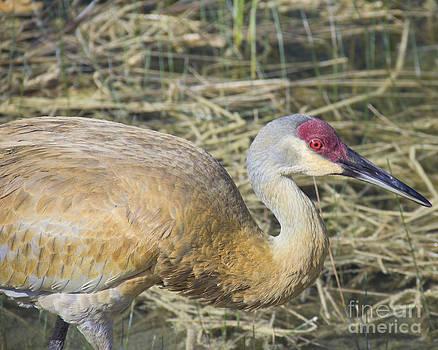 Sandhill Crane up Close by Carol McCutcheon