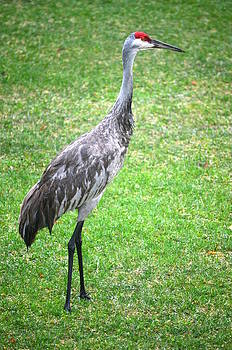 Sandhill Crane2 by Jennifer  King