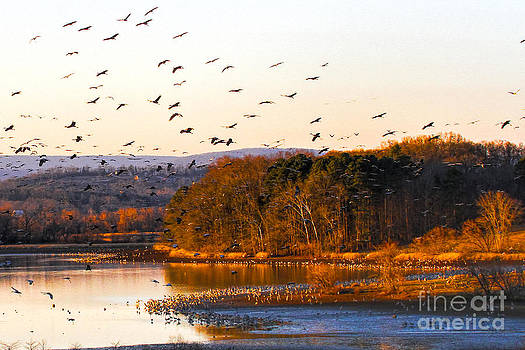 Barbara Bowen - Sandhill Cranes coming in to roost