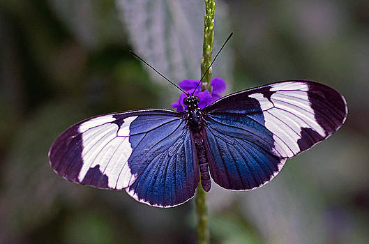 Sapho Longwing by Cheryl Cencich