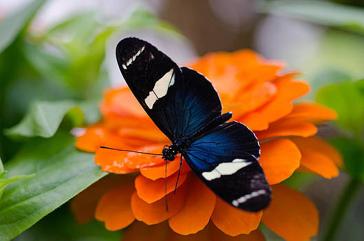 Sara longwing butterfly by Cheryl Cencich