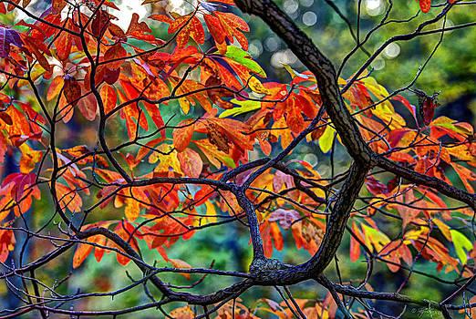 Sassafras Leaves by Skip Tribby