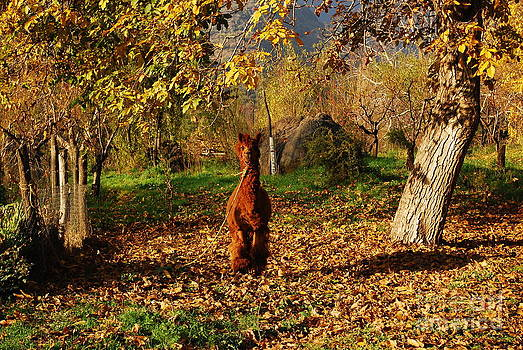 Sassy alpaca by Susan Hernandez