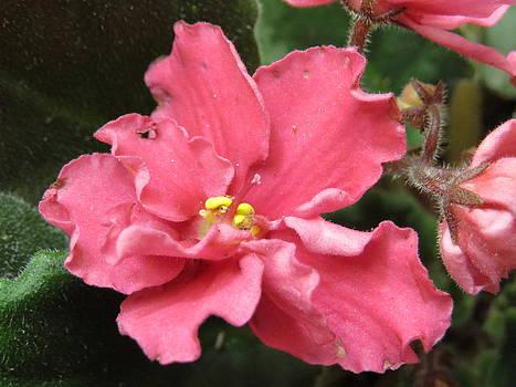Satin Pink African Violet Flower by Elisabeth Ann