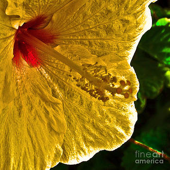 Saturated Hibiscus by Lisa Cortez