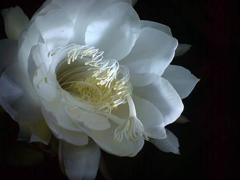 Saussurea obvallata 2 by Glitter Cherry