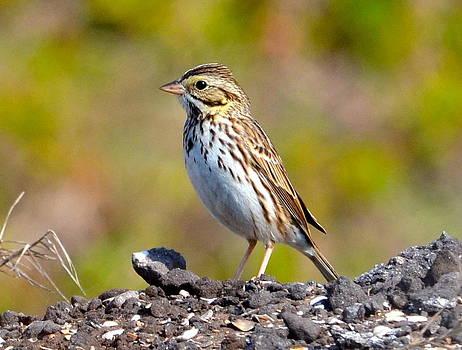 Savannah Sparrow by Amber Bobbitt