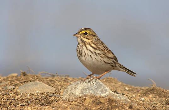 Savannah sparrow by Monic LaRochelle