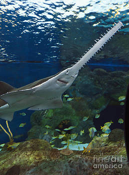 Jill Lang - Sawfish in an Aquarium