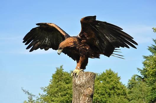 Scandinavian Golden Eagle by Steen Hovmand Lassen