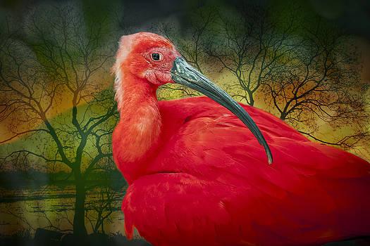Scarlet Ibis by Bonnie Barry