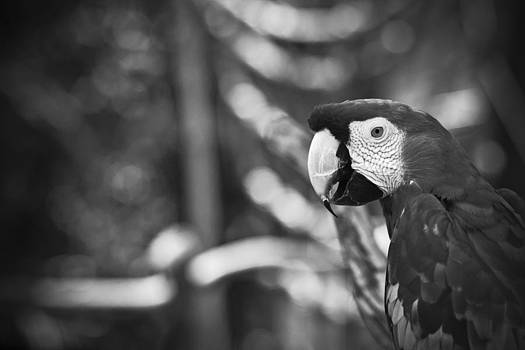 Scarlet Macaw At Sunset Black And White by Bradley R Youngberg