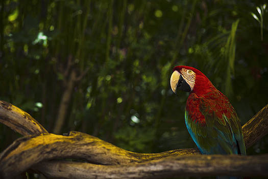 Scarlet Macaw At Sunset by Bradley R Youngberg