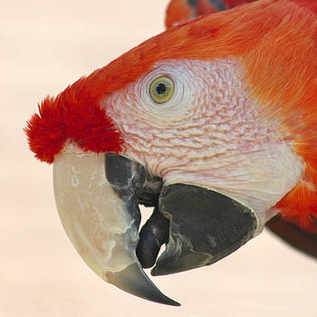 Scarlet Macaw Parrot by Bob and Jan Shriner