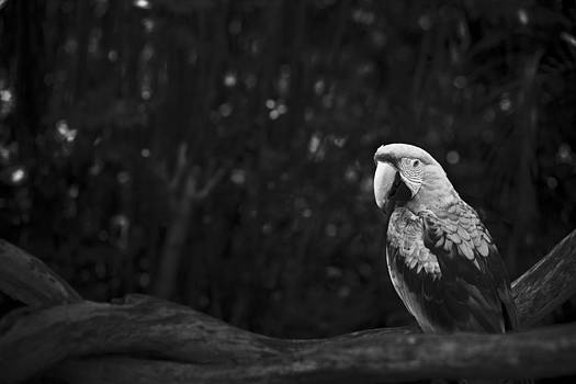 Scarlet Macaw Profile Black And White by Bradley R Youngberg