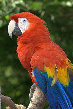 Regina  Williams  - Scarlet Macaw