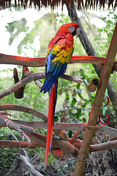 Scarlet macaw by Robert Bartlett