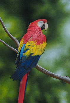 Scarlet Macaw by Victoria Oldham