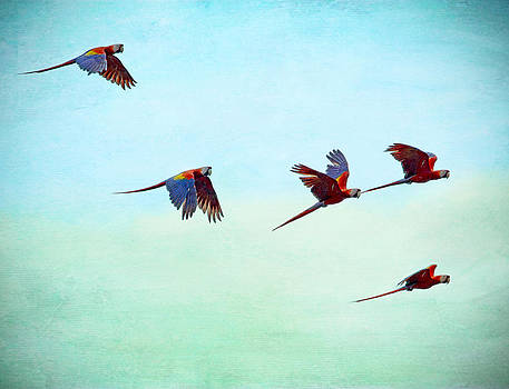 Peggy Collins - Scarlet Mackaws Flying