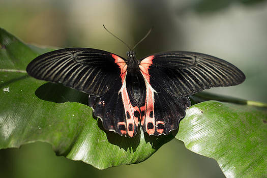 Scarlet Mormon Butterfly  by Gerald Murray Photography