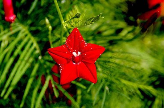 Ramabhadran Thirupattur - Scarlet Morning Glory - Horizontal