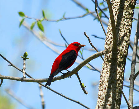 Scarlet Tanager by James Hammen