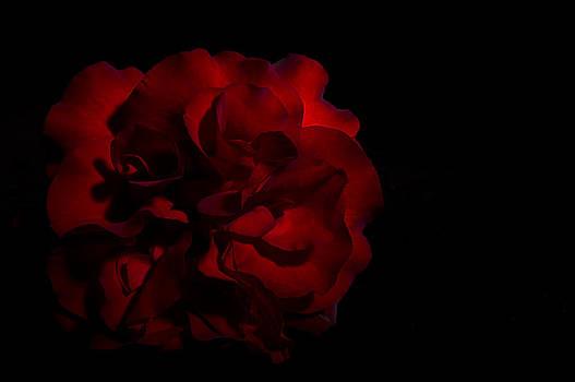 Paul W Sharpe Aka Wizard of Wonders - Scarlett Rose Black Background