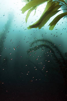 Schooling Fish in Kelp Forest by Greg Amptman