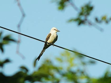 Scissor Tailed Flycatcher 2 by Billy  Griffis Jr