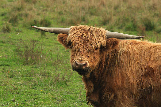 Scots Highlander Bull 3 by Jim Cotton