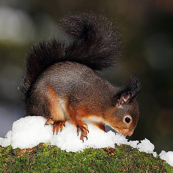 Scottish Red Squirrel in snow by Grant Glendinning