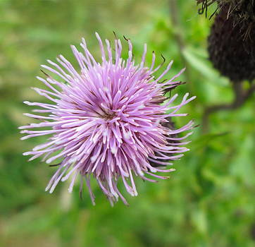 Scottish Thistle by Jeany Snider