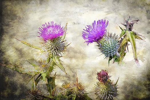 Scottish Thistle by Matthew Bruce