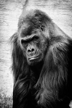 Scowling gorilla by Goyo Ambrosio