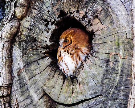 Terry Shoemaker - Screech Owl 02