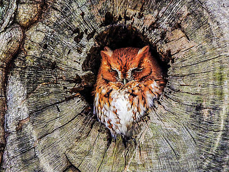 Terry Shoemaker - Screech Owl 03