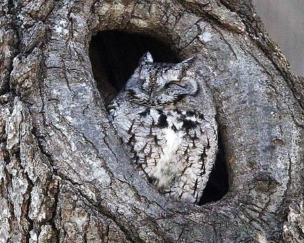 Screech Owl by Henry Gray